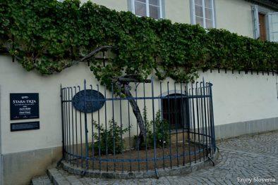 Maribor vine Slovenia