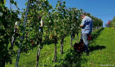 Wine tasting tour Slovenia harvest experience