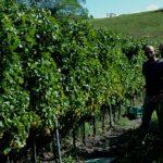 Wine tasting tour Slovenia harvest in Vipava valley 2